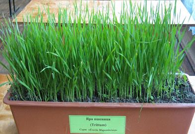 Яра пшениця сорт «Елегія Миронівська»