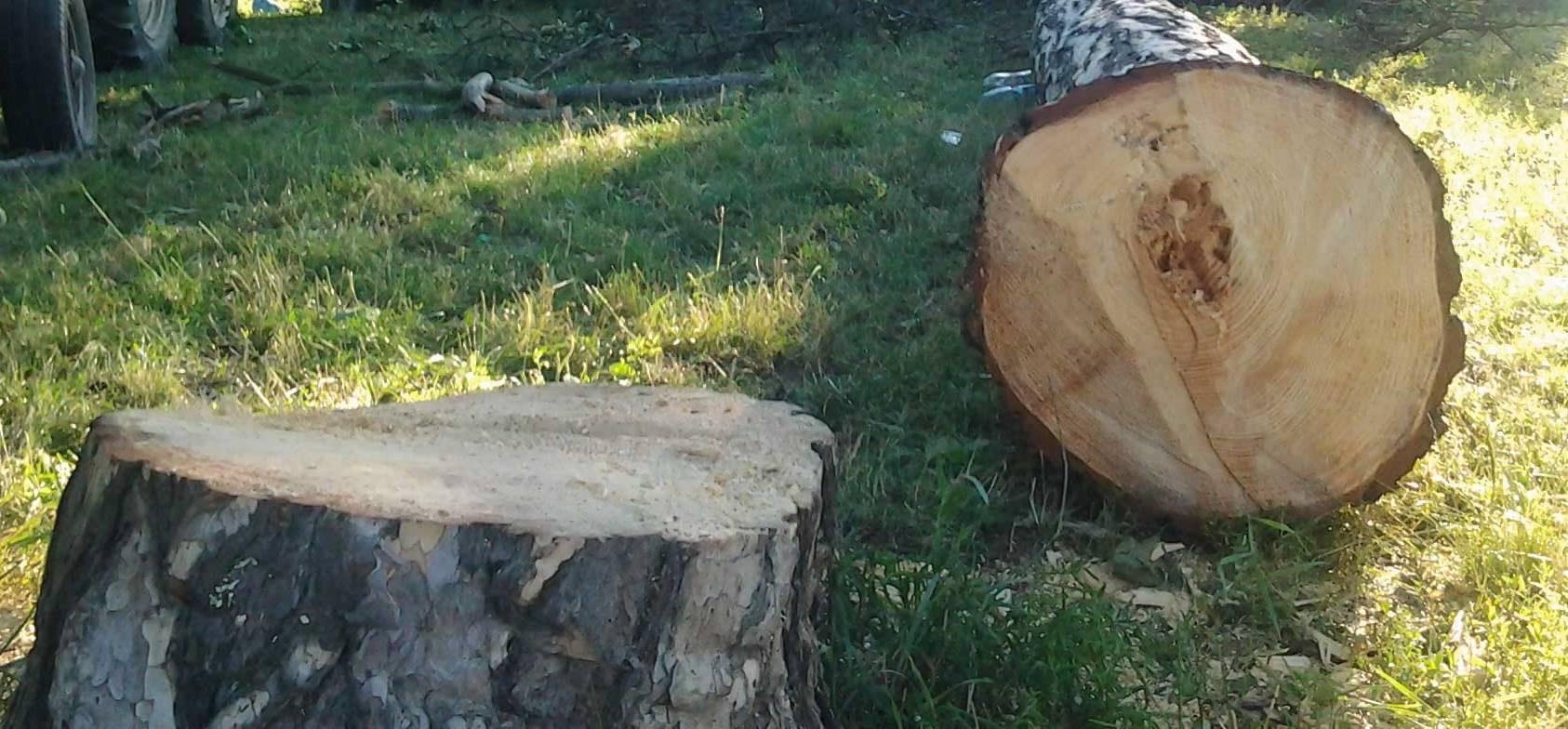 На території школи зрубали здорове дерево