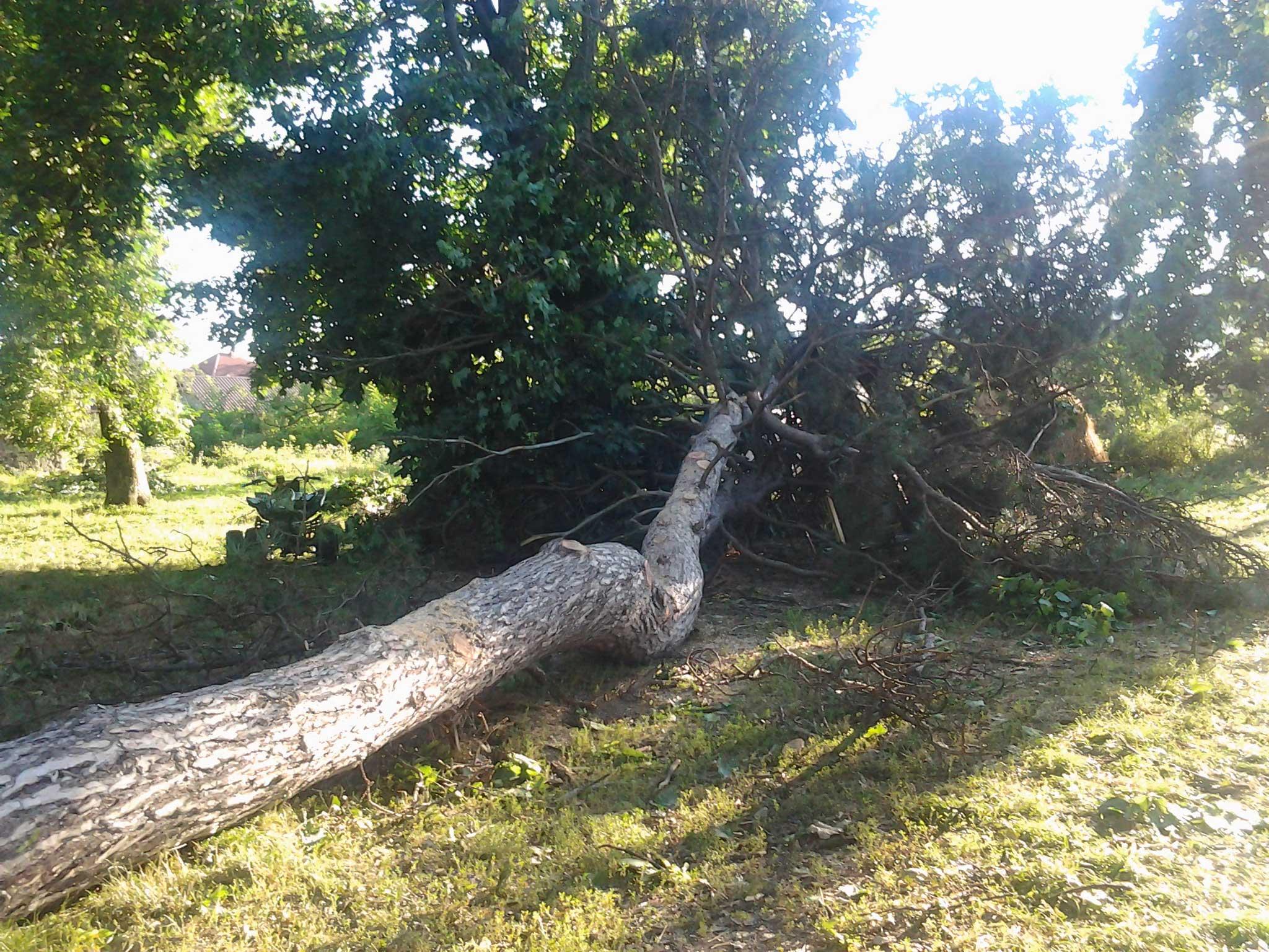 Зрубане дерево у парку в Королеві